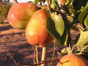 Warren fireblight resistant pear tree for sale