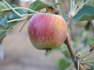Wealthy heirloom apple tree