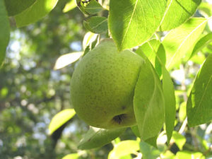White Doyenne organic heirloom  pear tree