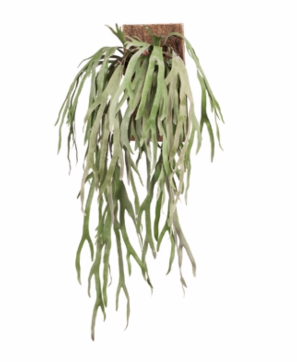 Mounted Grey Staghorn Fern