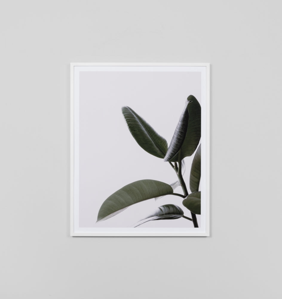 Rubber Tree Framed Print 1