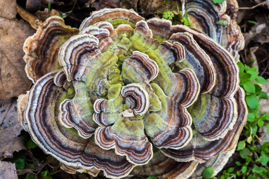 Turkey tail growing on a forrest floor with vivid earthy colours