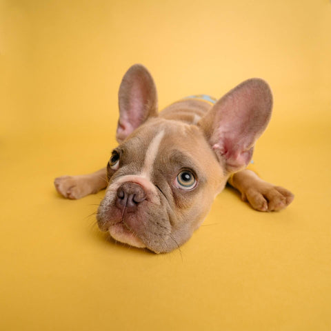 Cute french bull dog laying on a bright yellow floor
