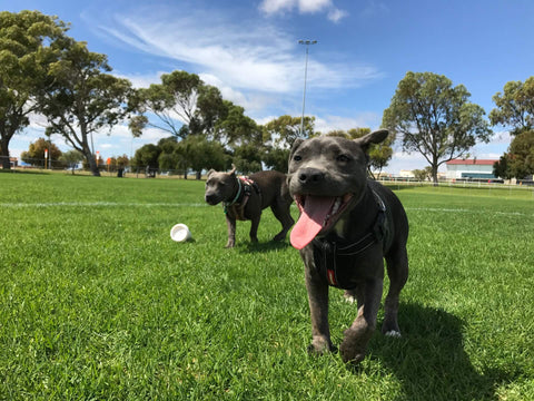 Two dogs running on lush green grass at the park