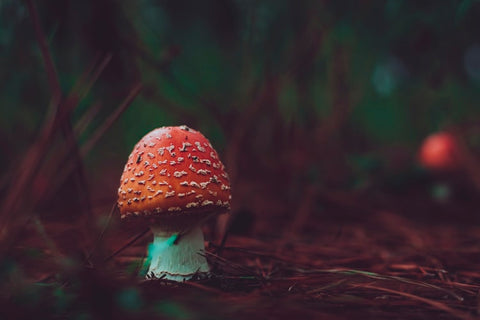 Amanita-Muscaria-Mushroom-On-The-Forest-Floor-Growing-On-Top-Of-Pine-Trees