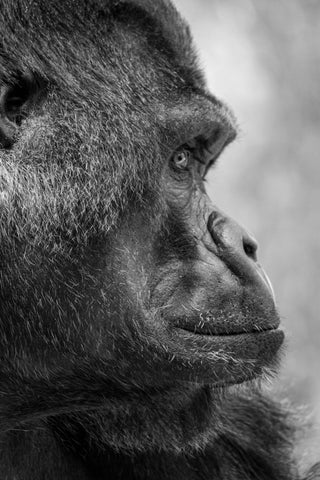 Black and white close up image of an ape's face