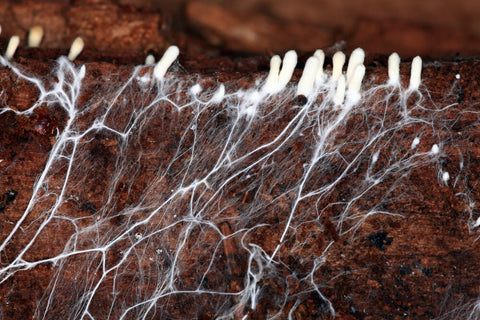 Mushroom mycelium in the soil, with hypal knots at the surface