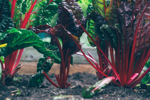 A garden bed with beneficial fungi, growing beetroot leaves