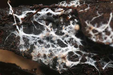Mushroom mycelium growing through the soil forming a mycorrhizal relationship