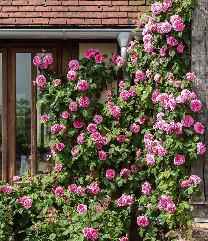 Climbing rose with pink flowers covering the front of a timber framed building