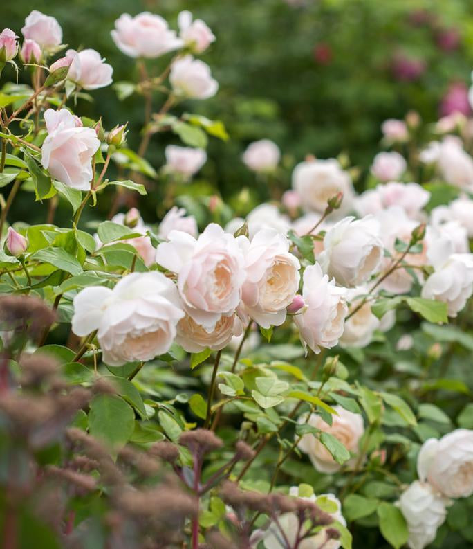 White English Shrub Rose Desdemona