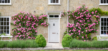 Pink climbing English Rose Gertrude Jekyll growing up the front of a grand house