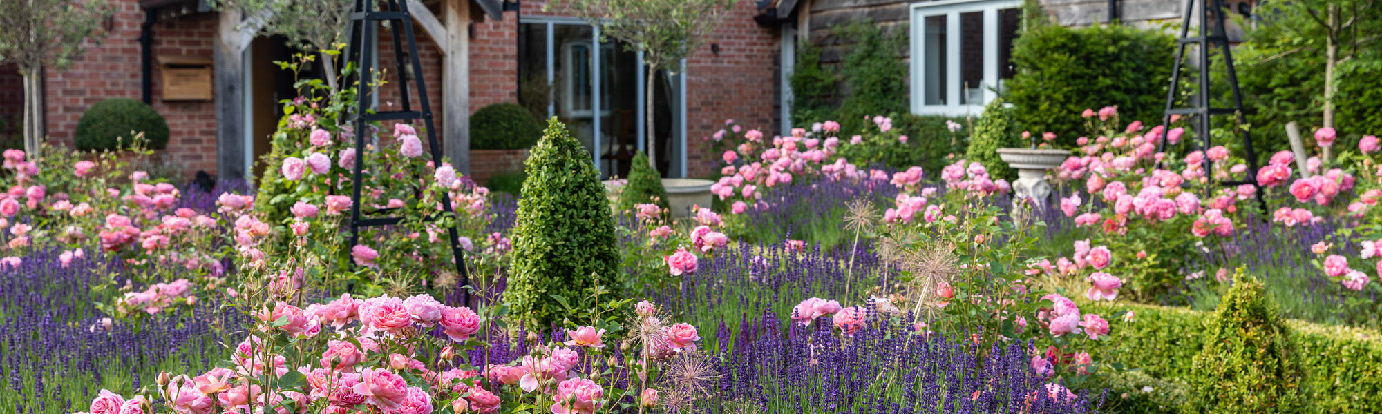 Garden in front of country house filled with pink roses, box hedges and lavender.