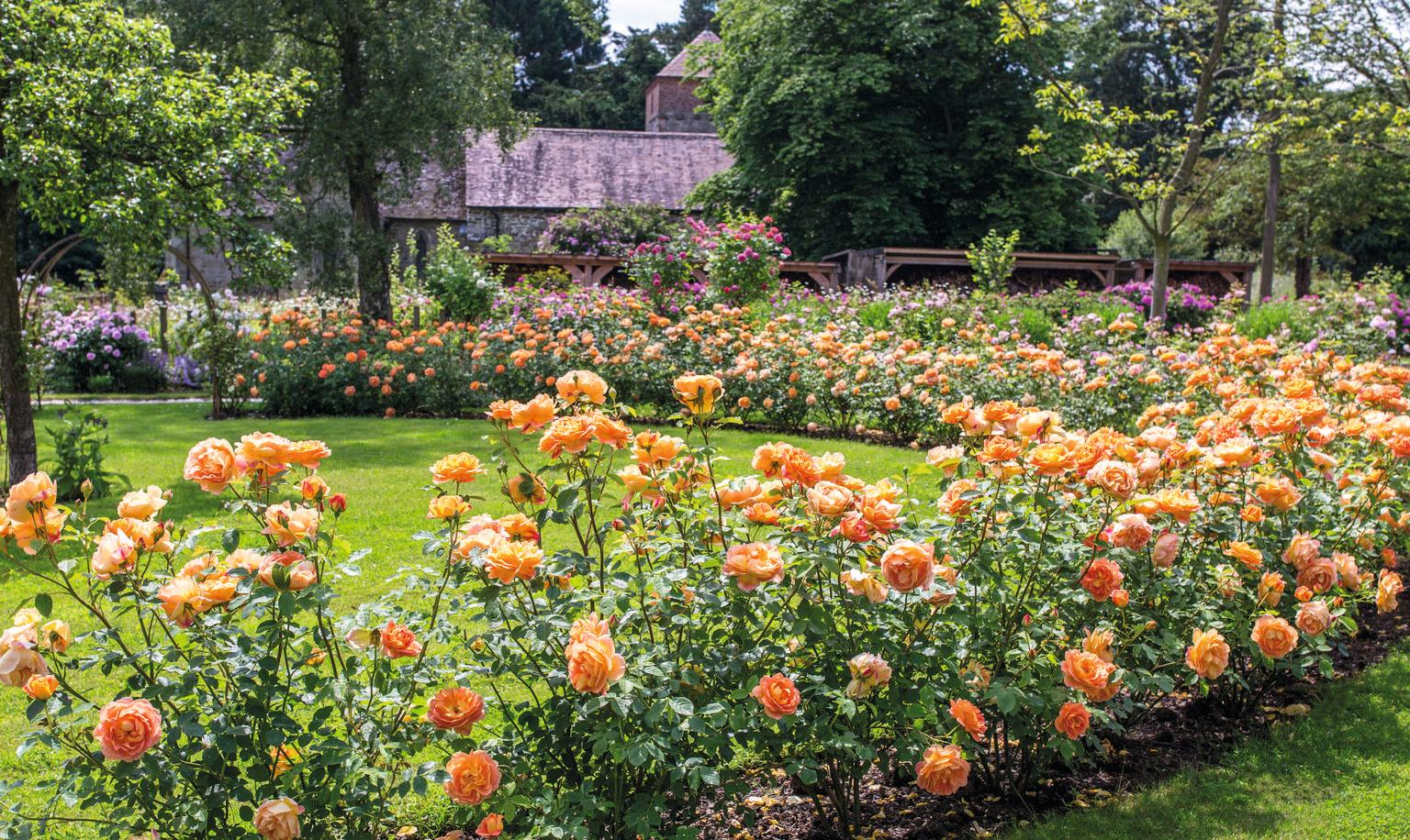 Orange English Shrub Rose Lady of Shalott planted in as a hedge in an English garden
