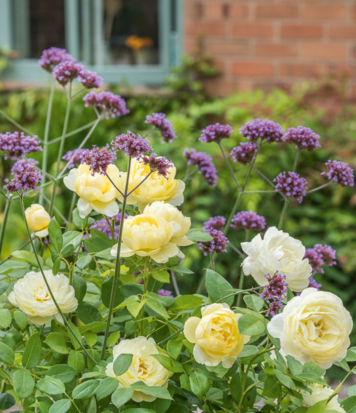 Yellow repeat flowering rose blooms of Vanessa Bell from David Austin outside window