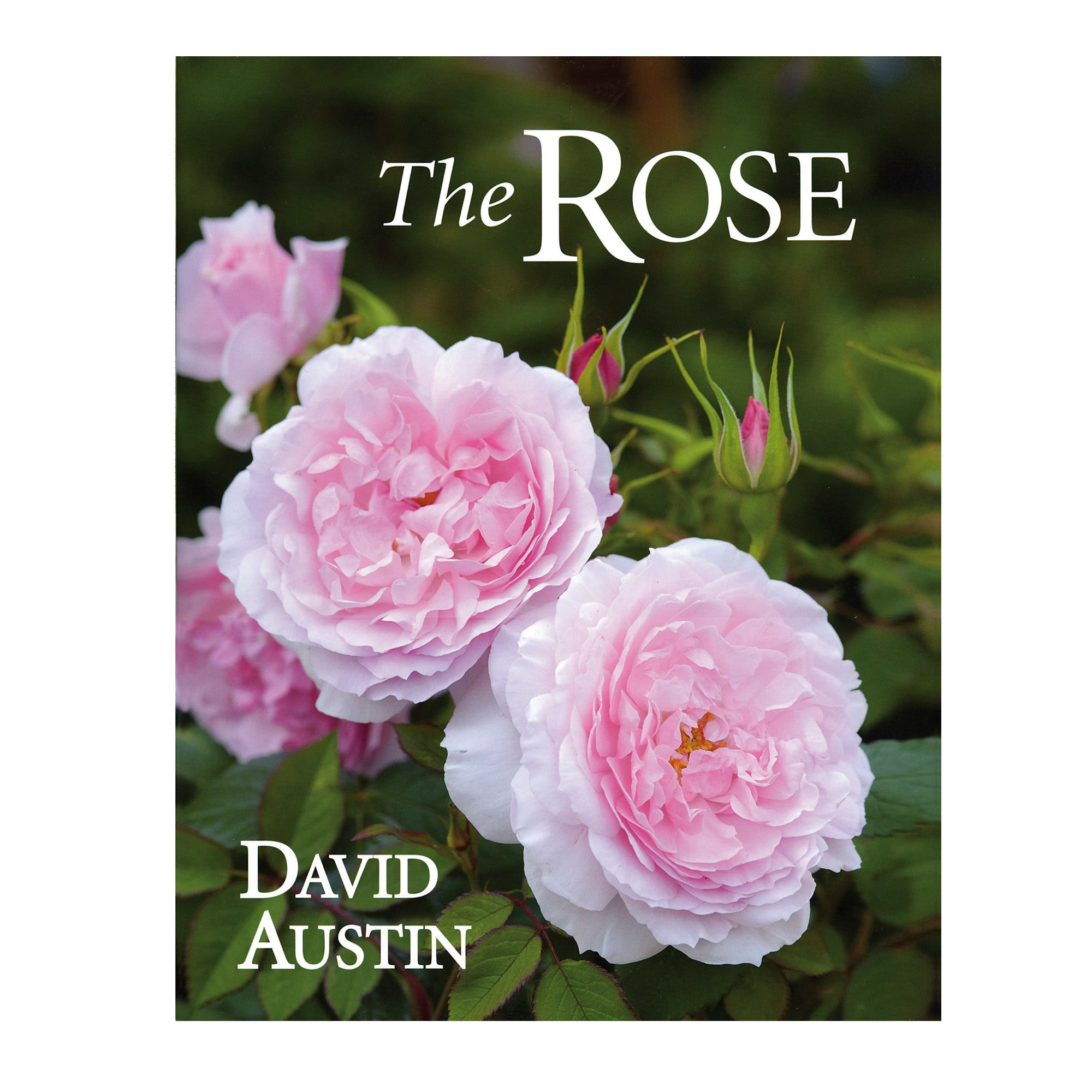 The Rose by David Austin