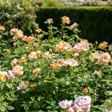 The Lark Ascending Hedging Bundle - Tall Hedge - 10 Roses