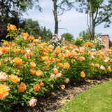 Lady of Shalott Hedging Bundle - Tall Hedge - 10 Roses