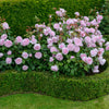 Olivia Rose Austin Hedging Bundle - Medium Hedge