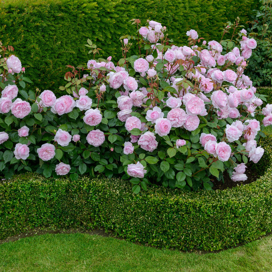 Olivia Rose Austin Hedging Bundle - Medium Hedge - 5 Roses