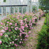 Harlow Carr Hedging Bundle - Medium Hedge - 5 Roses