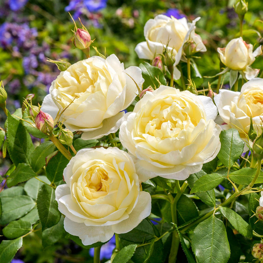 Vanessa Bell Hedging Bundle - Medium Hedge - 5 Roses