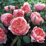 The Alnwick Rose Hedging Bundle - Medium Hedge - 10 Roses
