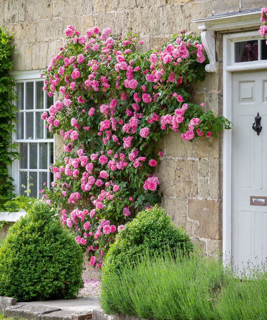 Pink English Climbing Rose growing up the front of a house Gertrude Jekyll