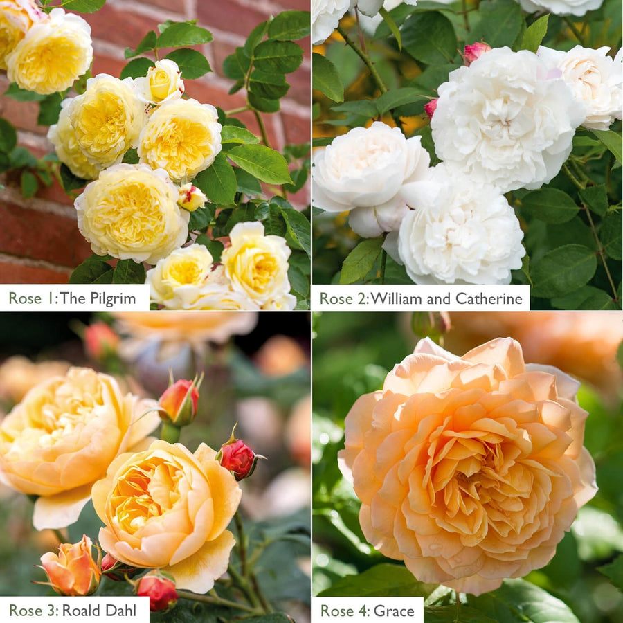Yellow, White & Apricot Climber & Border Bundle