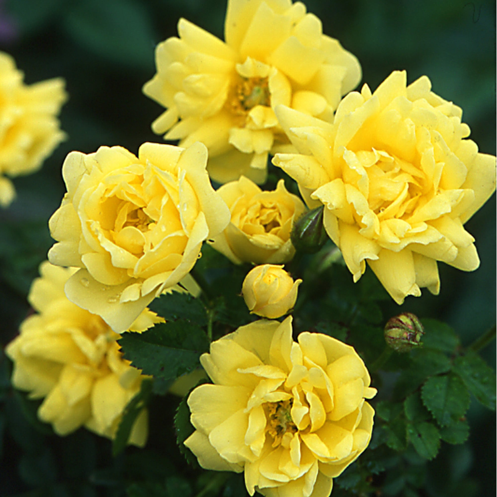 R. spin. 'Williams' Double Yellow'