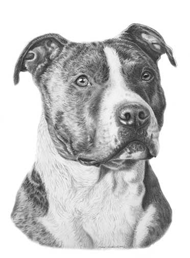American Staffordshire Terrier Pencil Print