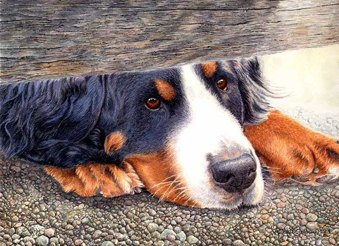 """The Watchman"" A Limited Edition Bernese Mountain Dog Print"