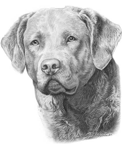 """Chesapeake Bay Retriever Pencil Print"""