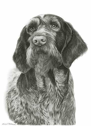 German Wirehaired Pointer Pencil Print