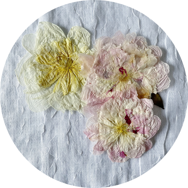 Pressed white and pink peonies