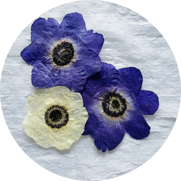 Pressed Anemones - White and Blue