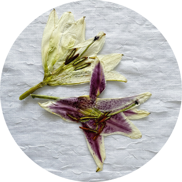 Purple and White Pressed Lily