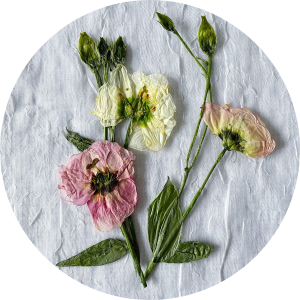 Pressed white and pink lisianthus
