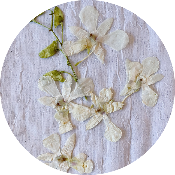 Pressed White Orchids