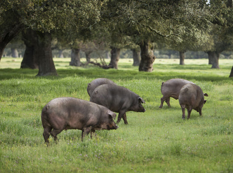 THE NATURAL ENVIRONMENT OF THE IBERIAN PIG