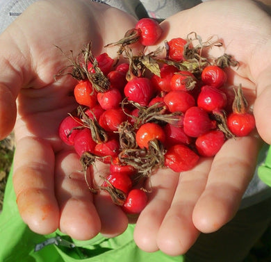 Berries of dried rose hip Siberian (Сушёный шиповник) Frūctūs Rosae 1 lot=1 kg. - Bolsunovskiy