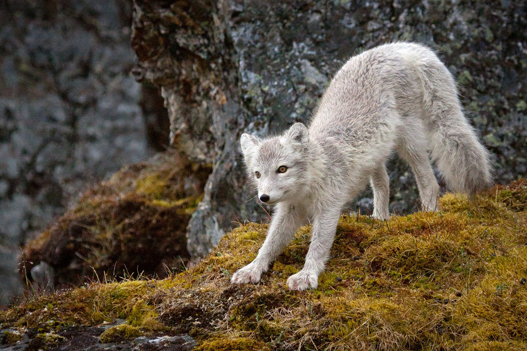 Gillian Morgan Arctic Fox In Summer