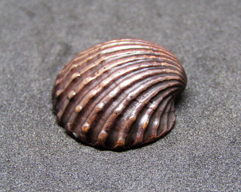 Miniature Scallop Shell
