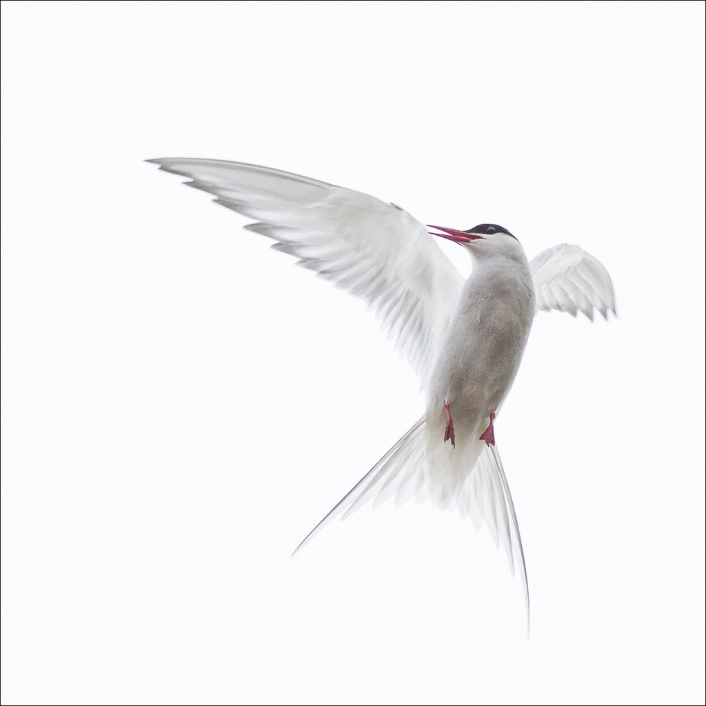 Gillian Morgan Mobbing Tern 2
