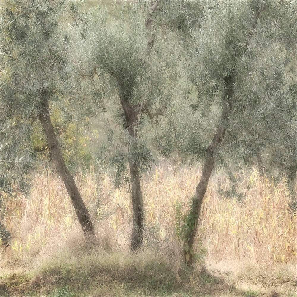 'Three Olive Trees' by Linda Bembridge