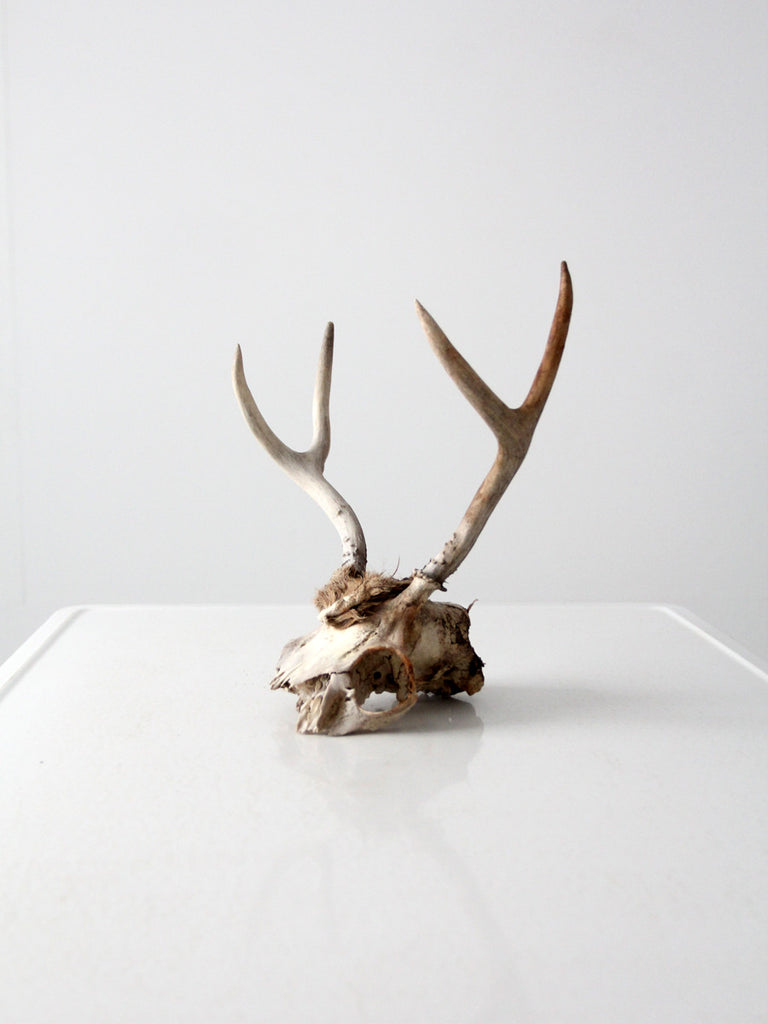 vintage deer skull with antlers