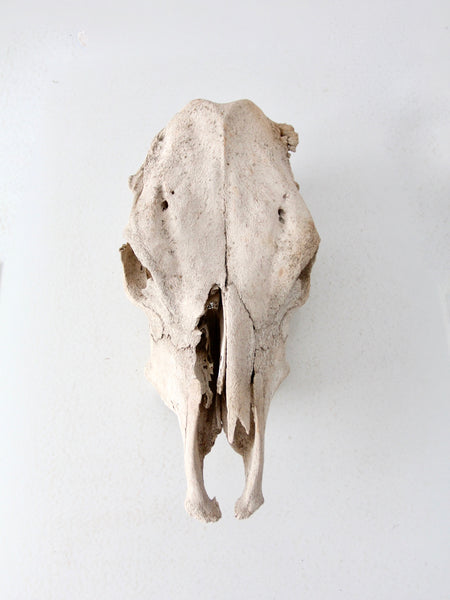 weathered cow skull
