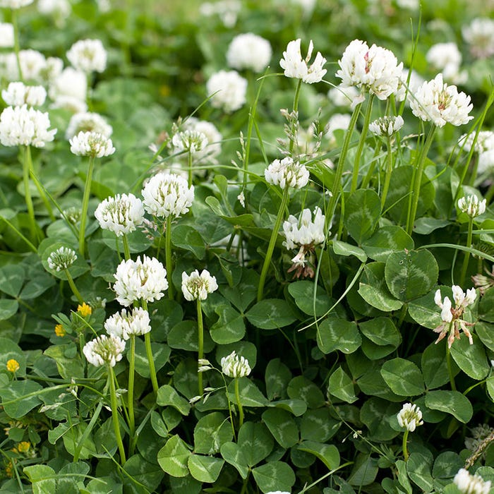Dutch White Clover - For Honey Bees - 8oz seed packet