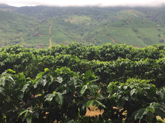 Brazil Peaberry Coffee Farm