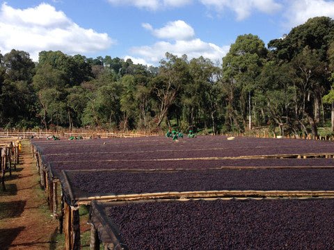 Organic Coffee Bean Farm - Ethiopian Coffee